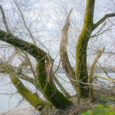 Willows at Donau River