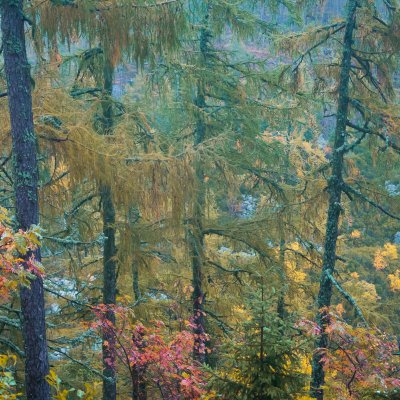 Larch Trees in High Tatras
